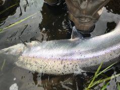 Un autre beau saumon du Slaney prêt pour son remis à l'eau