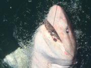 La bataille de Charlene avec son requin vache de 4.5m le long du bateau où il a été relâché. #CPRsavesfish