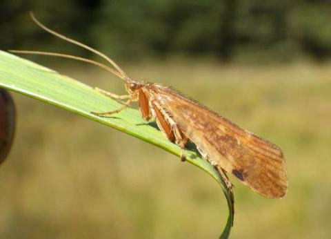 Limnephilus-vittalus