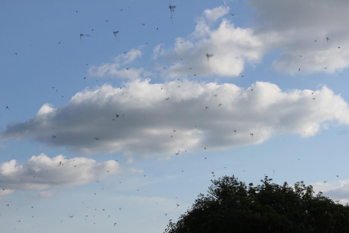 La danse de la mouche de mai (imago) sur le Lough Sheelin