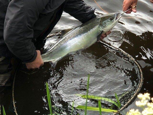Salmon Irlandais