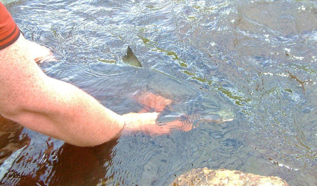 Saumon remis a l'eau en Irlande