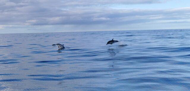 Les dauphins jouaient prés du bateau dans le Wicklow
