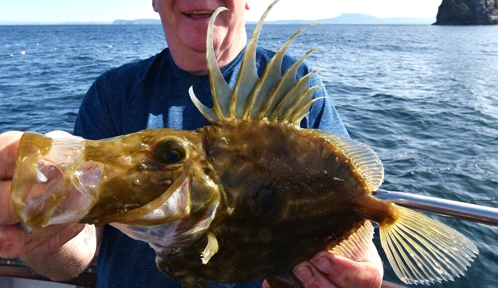 La pêche en mer en Irlande. Un poisson saint pierre pris dans le Donegal.