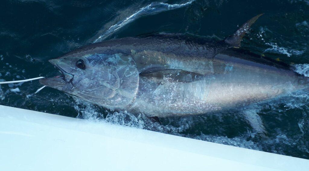 La pêche au thon rouge en Irlande