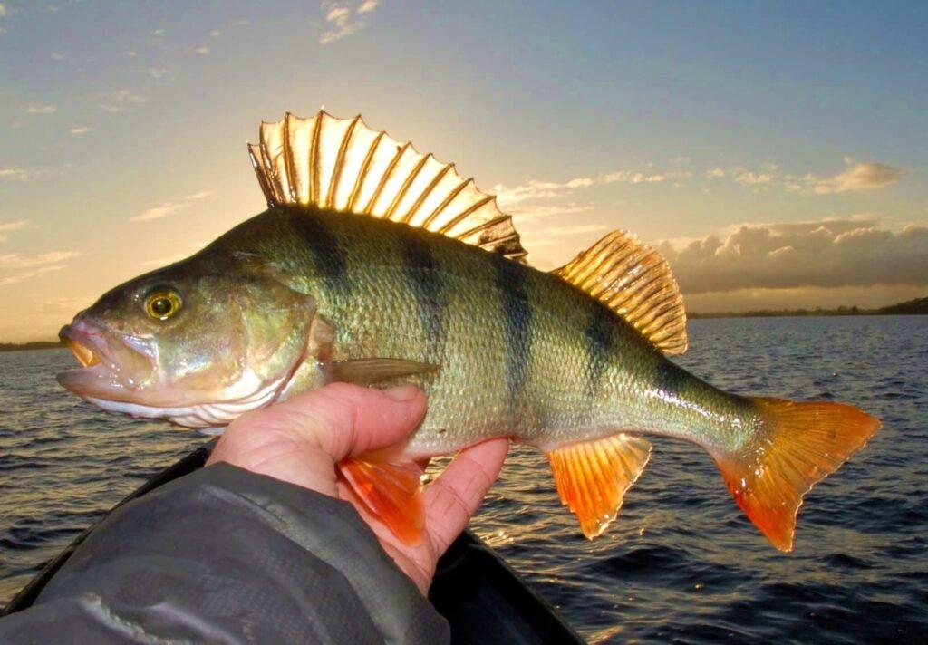 La pêche de la perche en Irlande dans les Midlands