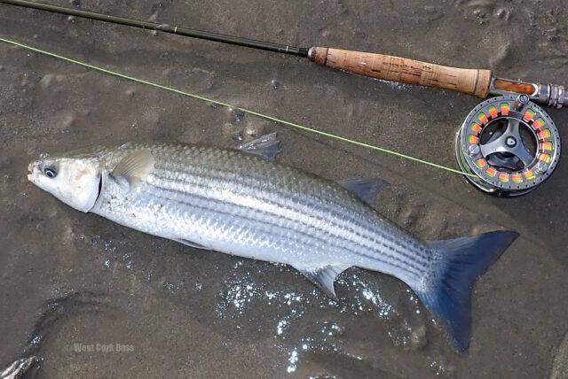 La pêche à la mouche en eau salée en Irlande, Cork