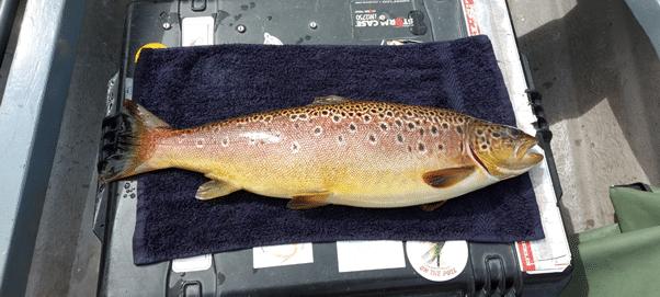 Une belle truite de 2.2 kg capturée par Michael Monaghan à Castlehill Bay, Lough Conn avant d'être relâchée