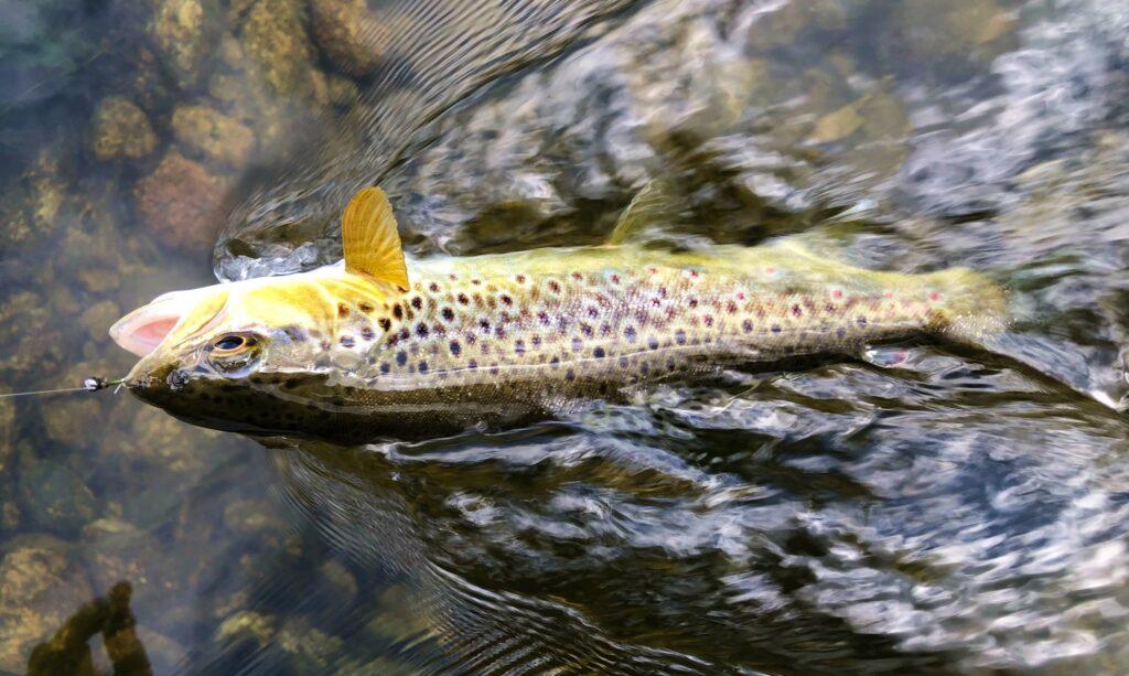 La pêche de la truite en Irlande, la rivière Nore