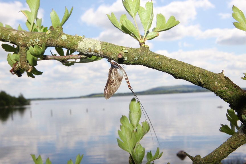 La mouche de mai en Irlande