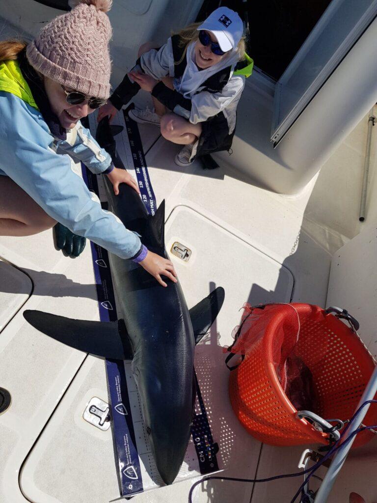 Pêche en mer en Irlande. Un requin bleu a bord.